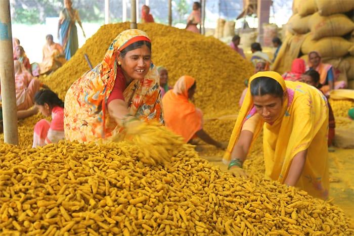 مزرعه زردچوبه هندی