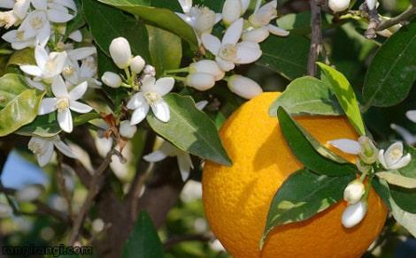 شکوفه نارنج